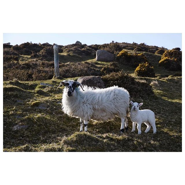 Back in Ireland shooting for the hubby @mournetextiles glorious spring weather and long mountain walks bumping into cheeky sheep #mournesheep #mournemountains 🐑🐑🐑 #goodforthesoul