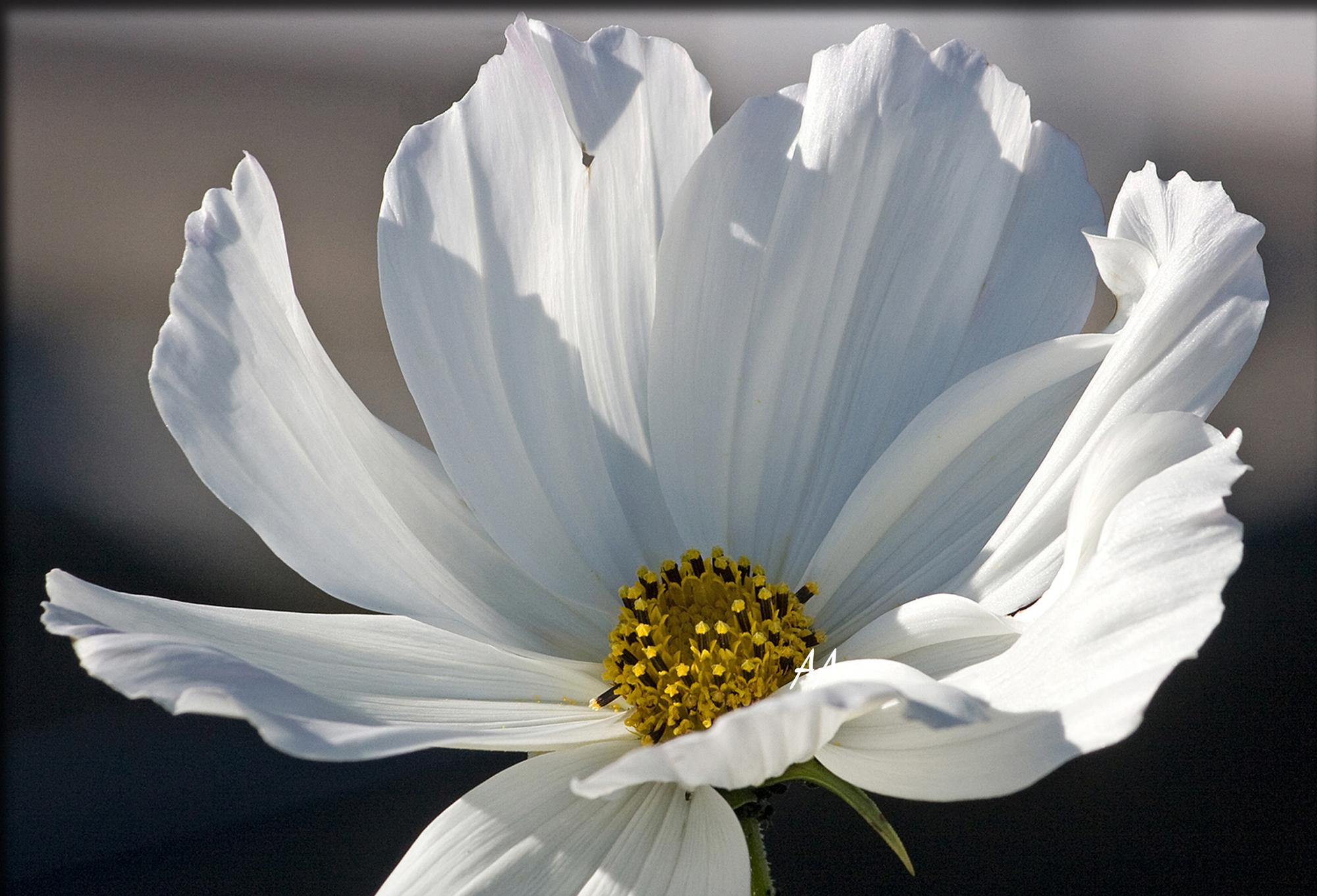 Valkoinen kukka, keltainen sielu.jpg
