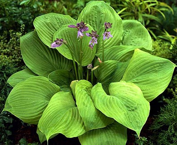Hosta_Sum&Substance2.jpg
