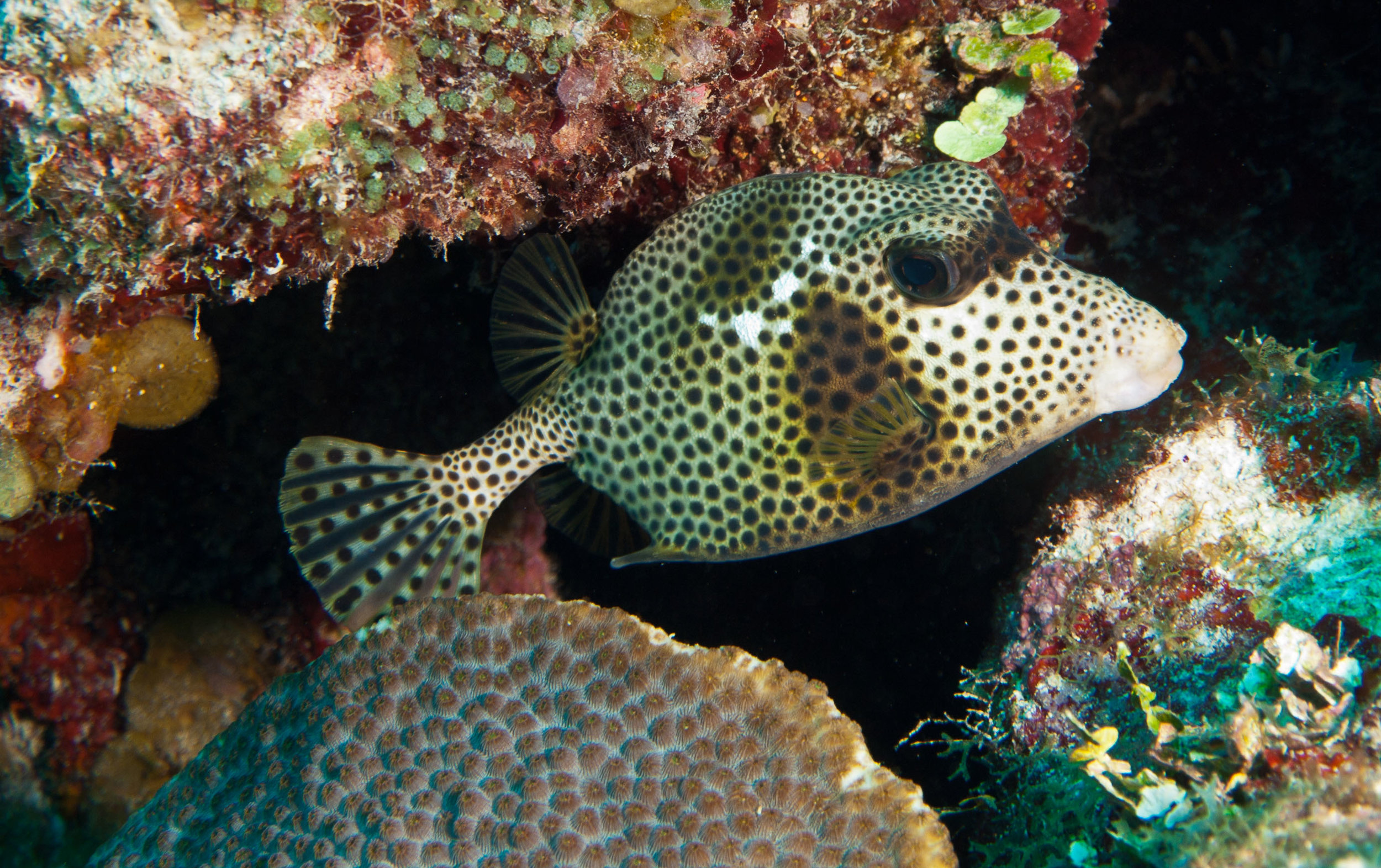 dive-mahahual- Spotted Fish.jpg