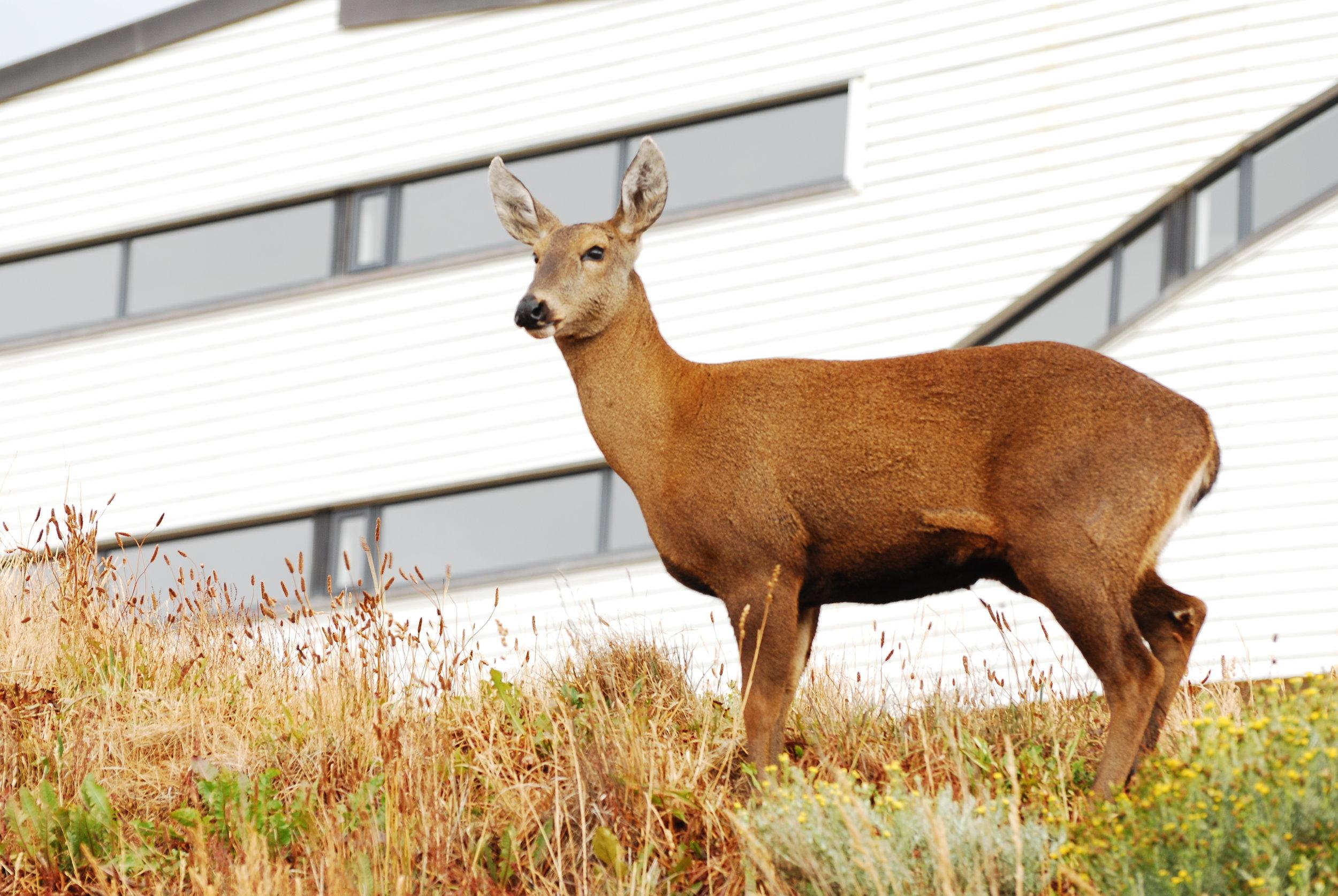 A deer at Explora Patagonia