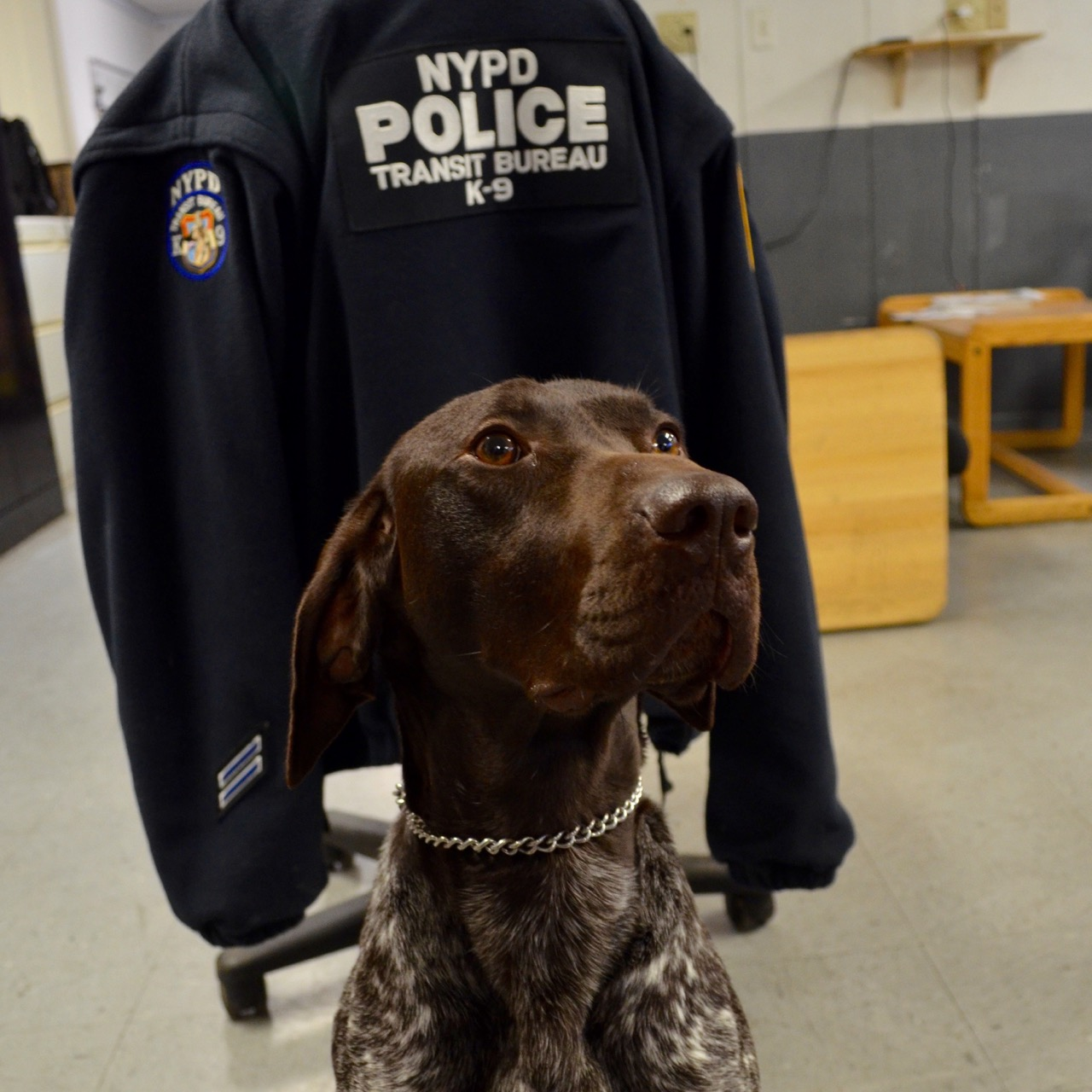 Sully. the NYPD's smallest police dog has a big job - sniffing out terrorism and saving lives.