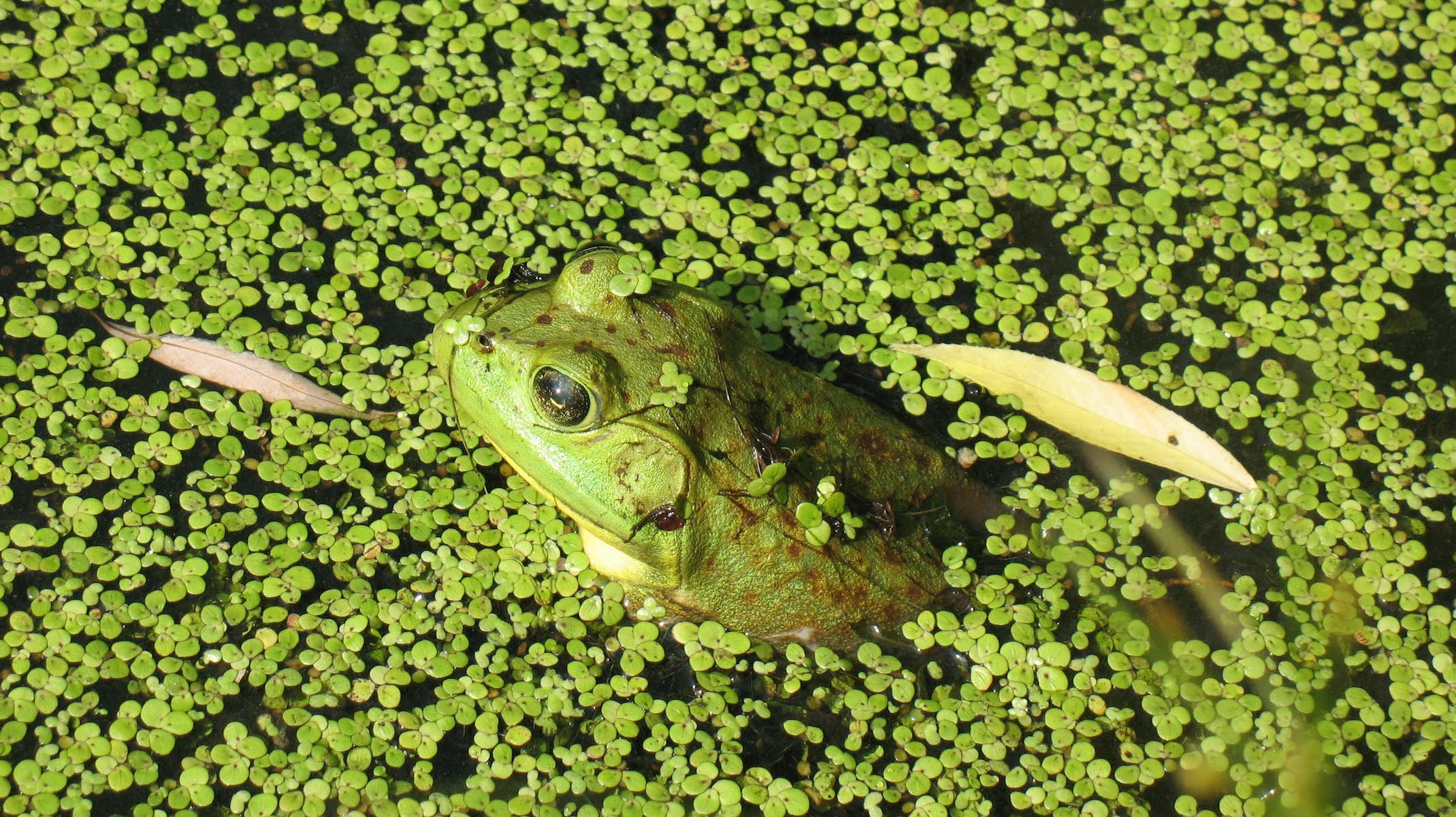 duckweed frog closeup.jpg