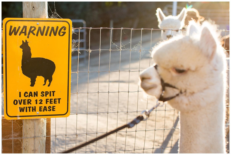 de joy photography rockstar alpaca farm