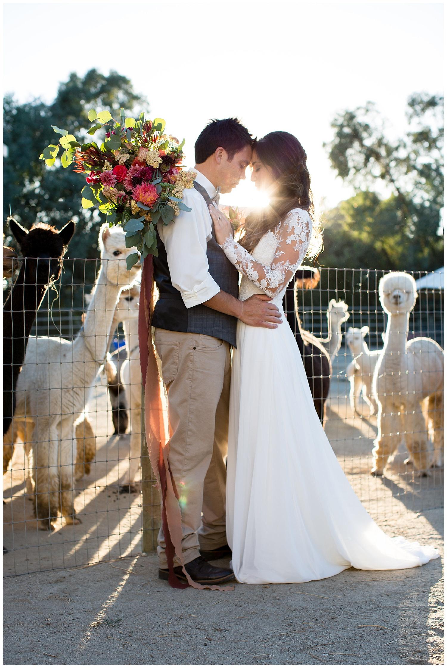 de joy photography sunset photo alpaca farm