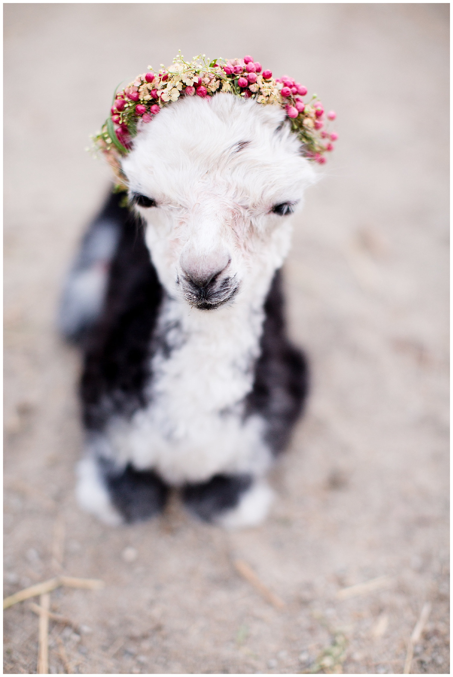 de joy photography baby newborn alpaca