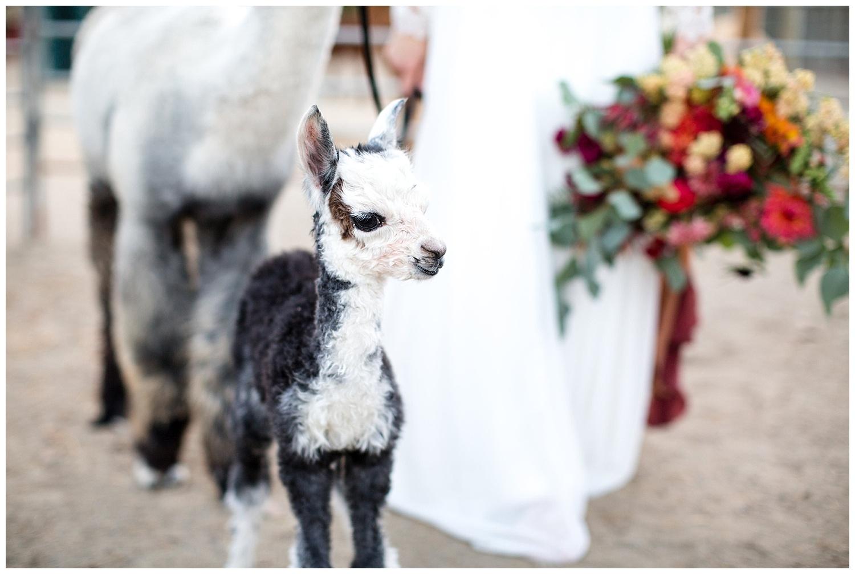 de joy photography baby alpaca wedding