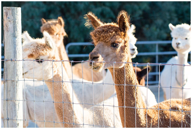 de joy photography rockstar alpacas wedding