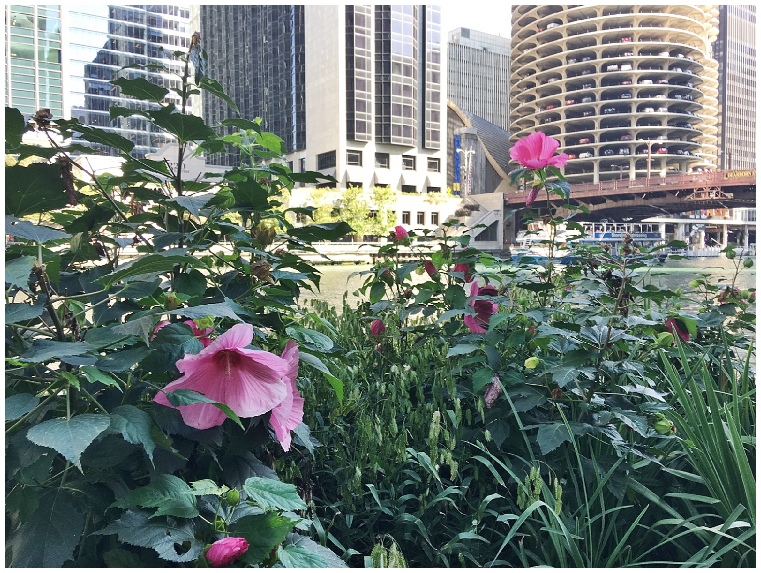 Hibiscus is a tropical flower. Chicago in the summer feels like the tropics!