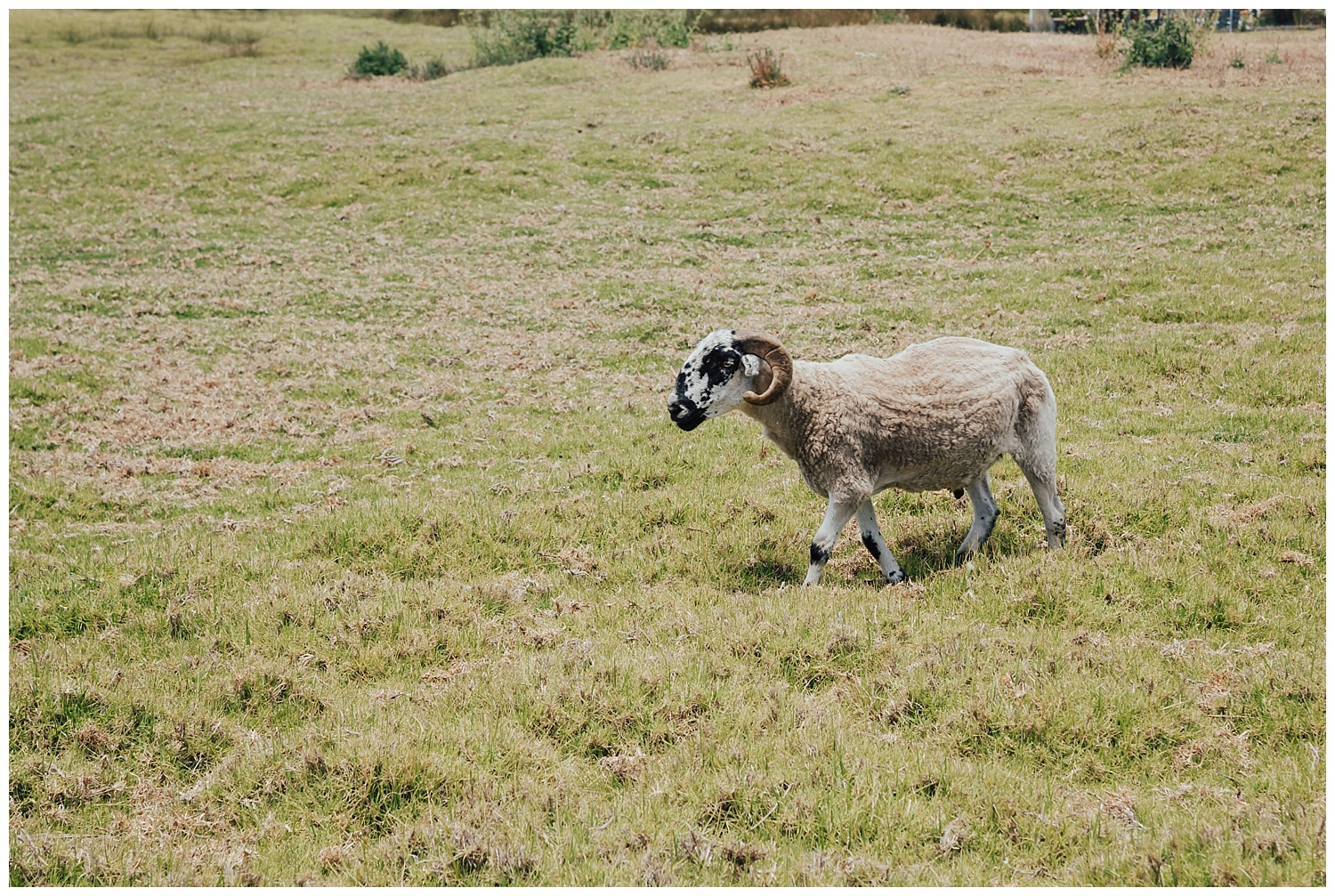mission-ranch-sheep-wedding-carol-oliva-photography.jpg