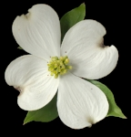 Dogwood Bloom White.jpg