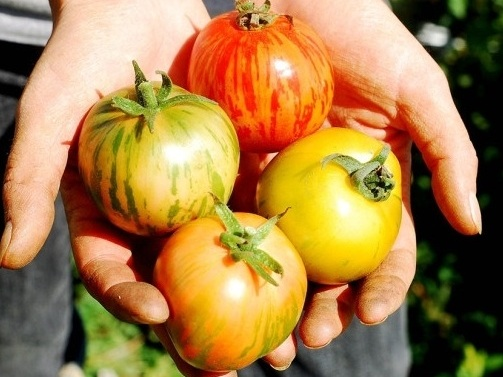 2011-Freshly-Harvested-Striped-Tomatoes-in-Hands-600x403.jpg