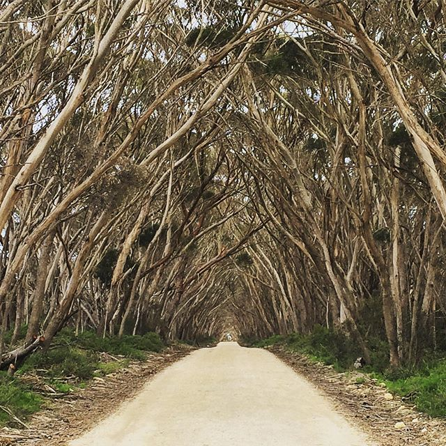 Day seven: finally made it to Kangaroo Island in South Australia for @suitcase and it's every bit as wild and interesting as we hoped. Loved this kind of natural church made by narrow-leaved mallee trees, which are native to the island . . . . . . #travel #myinstadiary #travelwriting #traveldeeper #travblogger #mothernature #kangarooisland #authentickangarooisland #nature #trees #landscape #wow #monday #southaustraliatraveller #travelaustralia #wonderlust #traveldeeper #traveller #travelpic #travelbug #travellove #picofthefay #exploremore #postcardsfromtheworld #suitcase #suitcasetravels