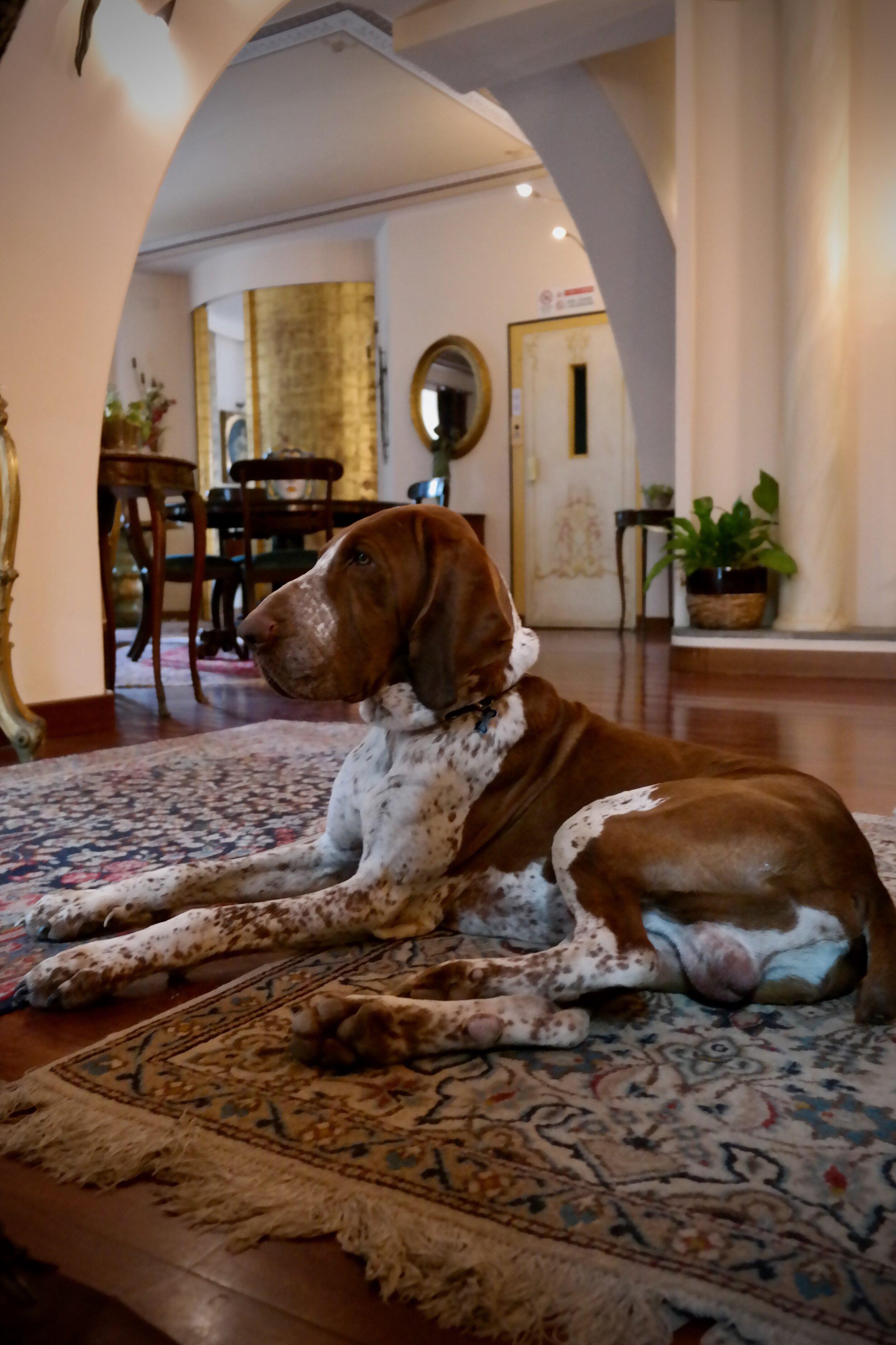 Omistajien ihana, rauhallinen koira, Mascio