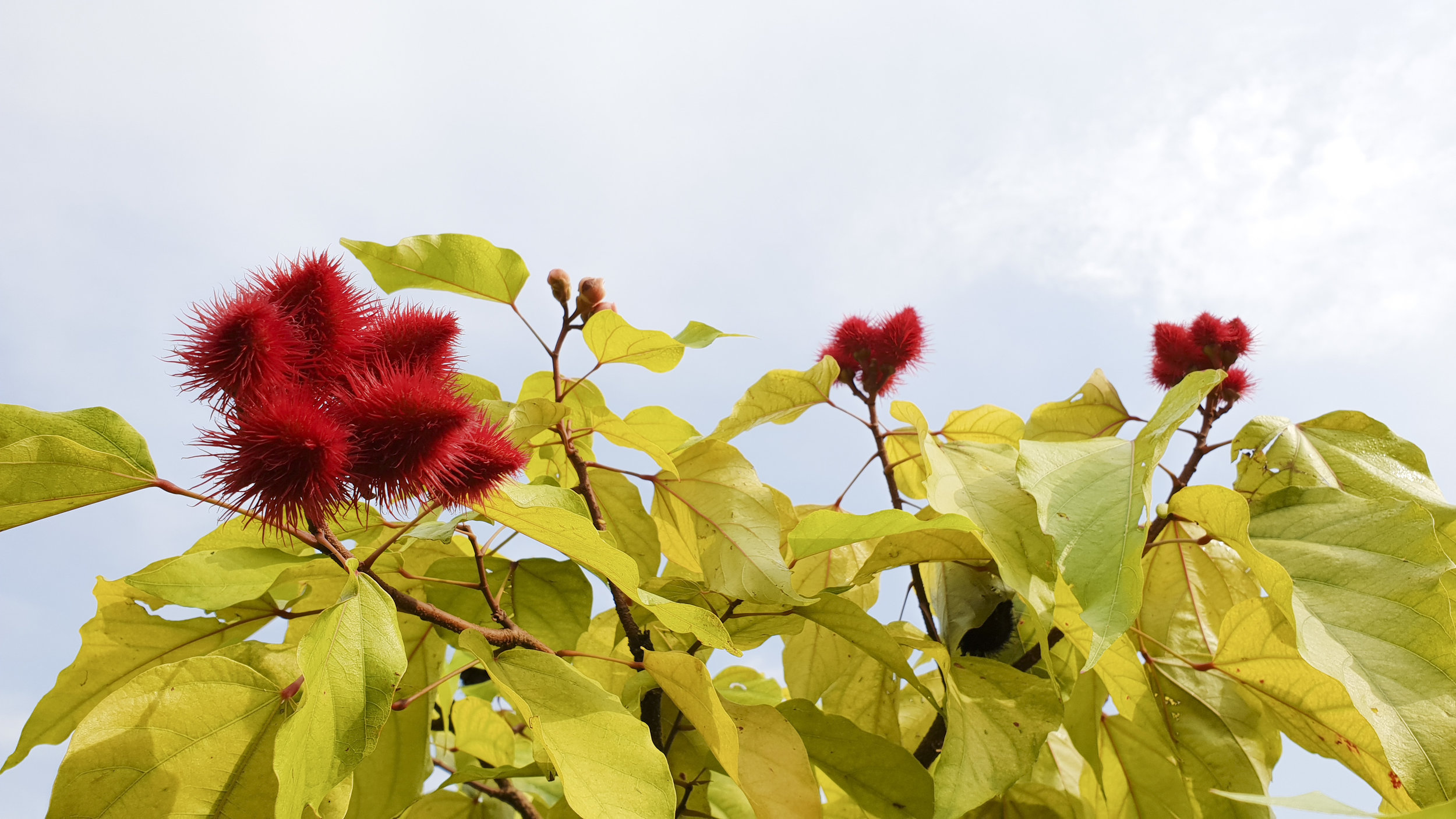 Lipstick Plant (the red fruits of this tree are used to make red body paint and lipstick)
