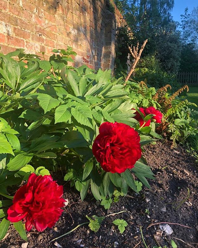 🍀♥️ More luck than green thumbs; ten years of annual loyalty from these deep red peonies planted by a previous, far more talented gardener than I! A little Chelsea Flower Show flourish! ♥️ 🍀 #peony #greenthumb #gardenlife