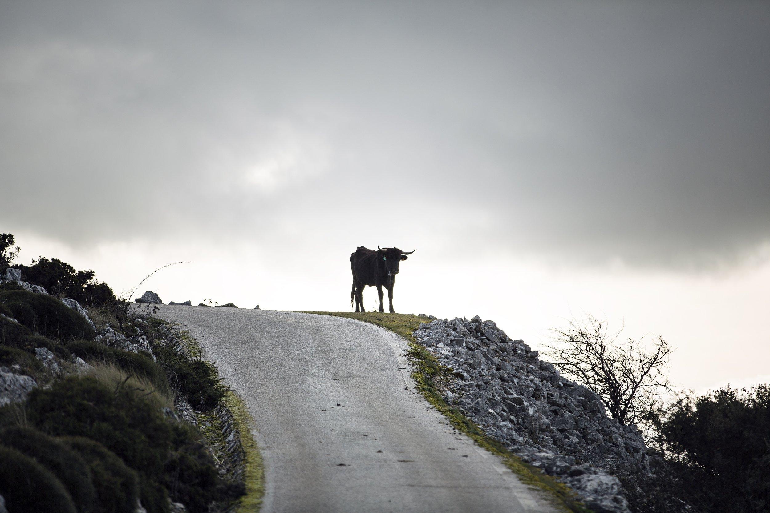 A bull, not a troll. Image by Paul Calver.