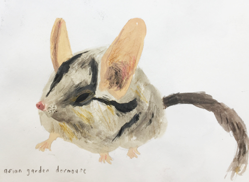 Asian Dormouse