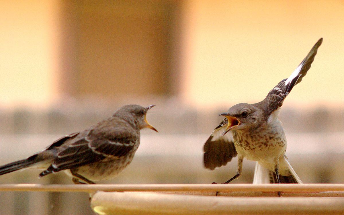 1200px-Mocking_Bird_Argument.jpg