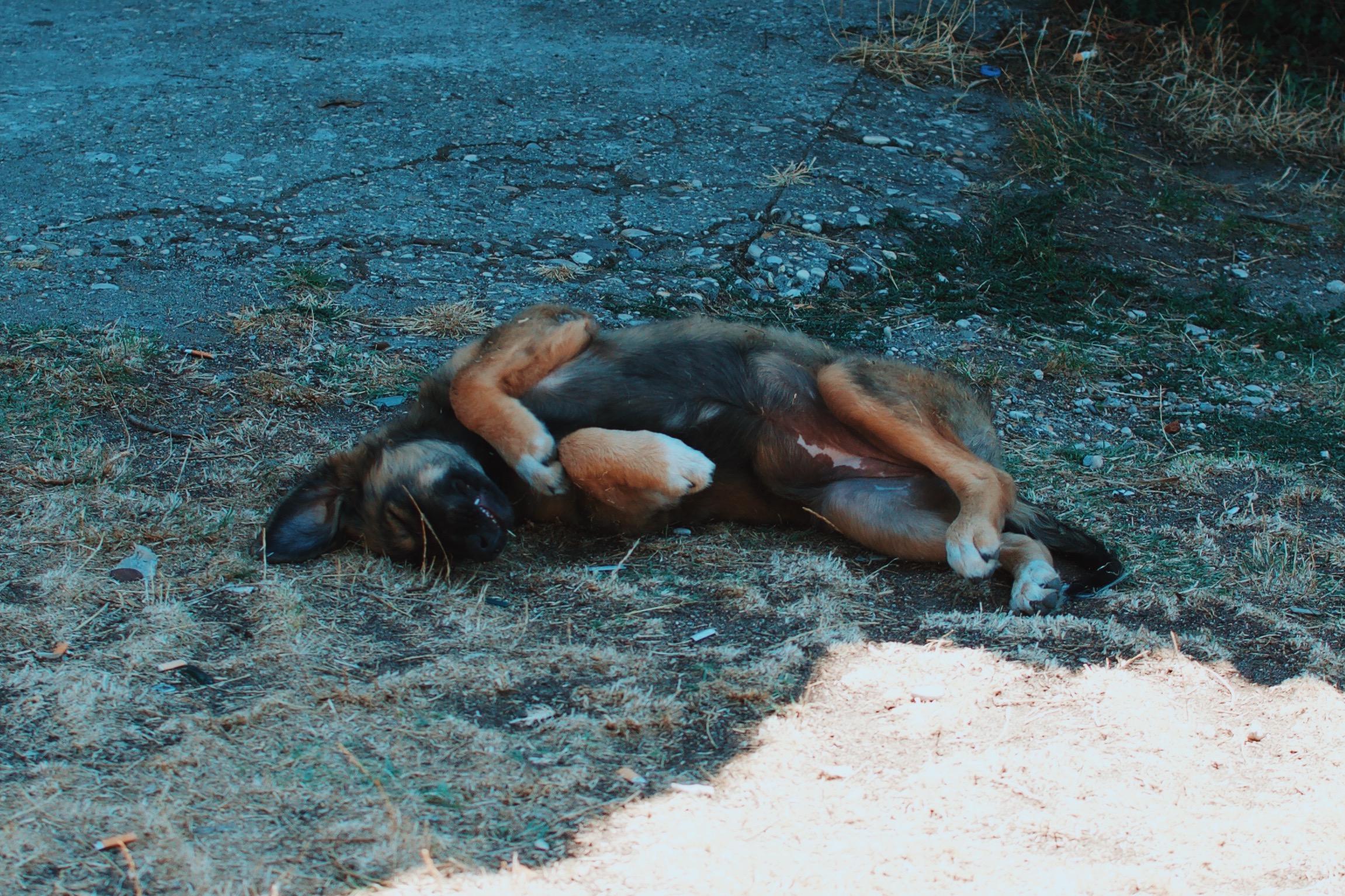 Dog in Albania