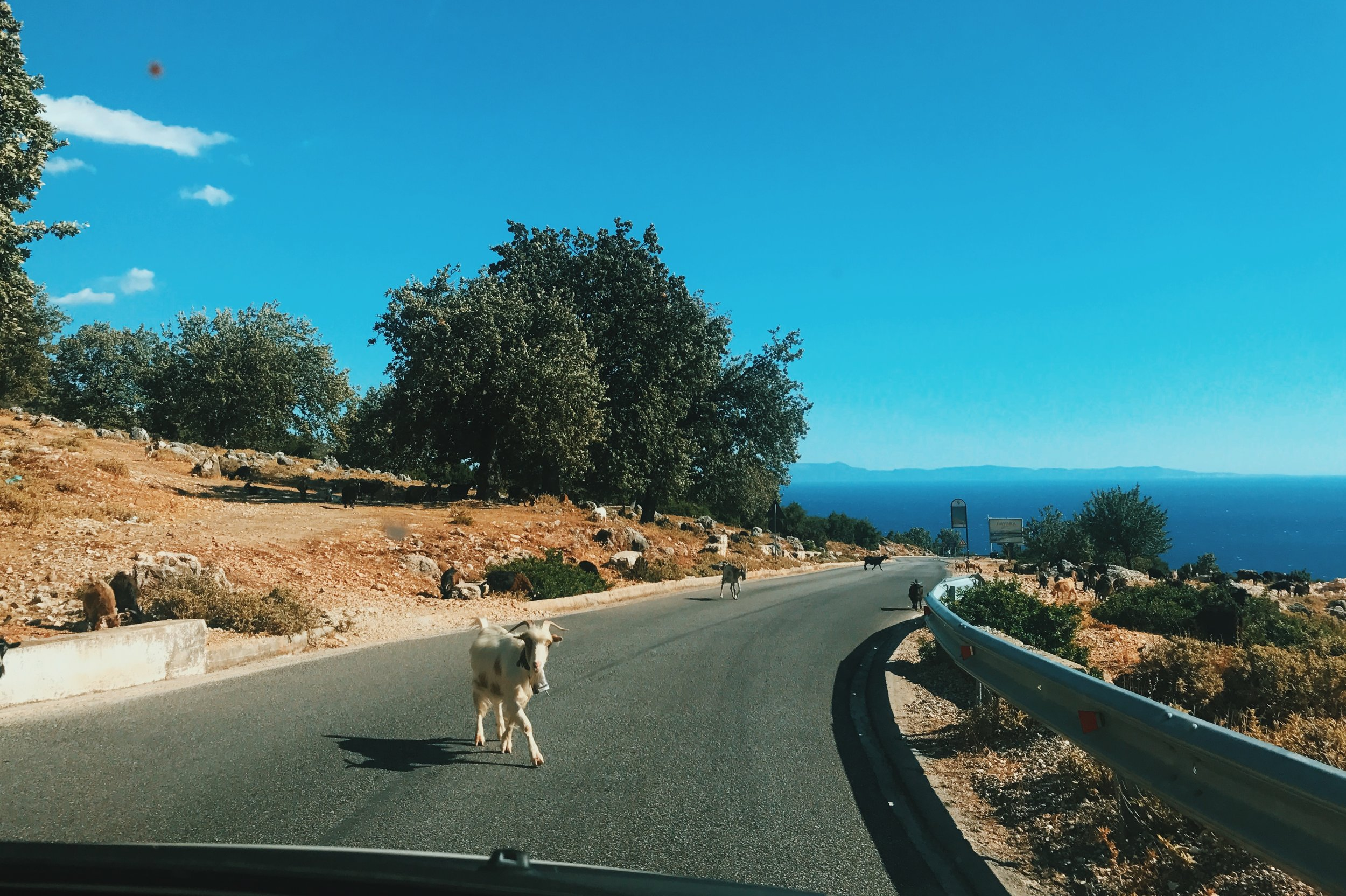 Goats on the road at the Llogara Pass in Albania