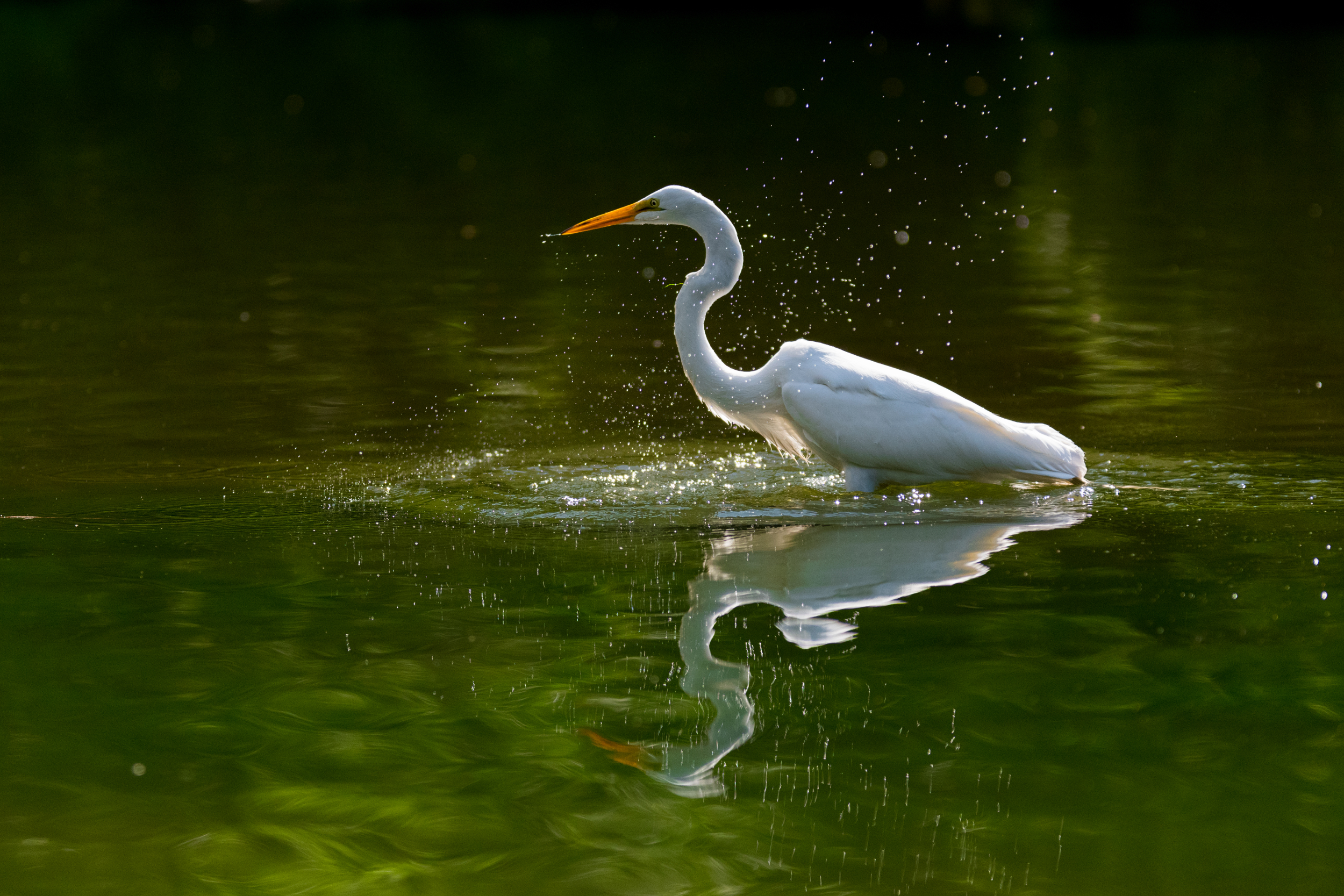 White Heron / Great Egret - Central Park, New York, New York