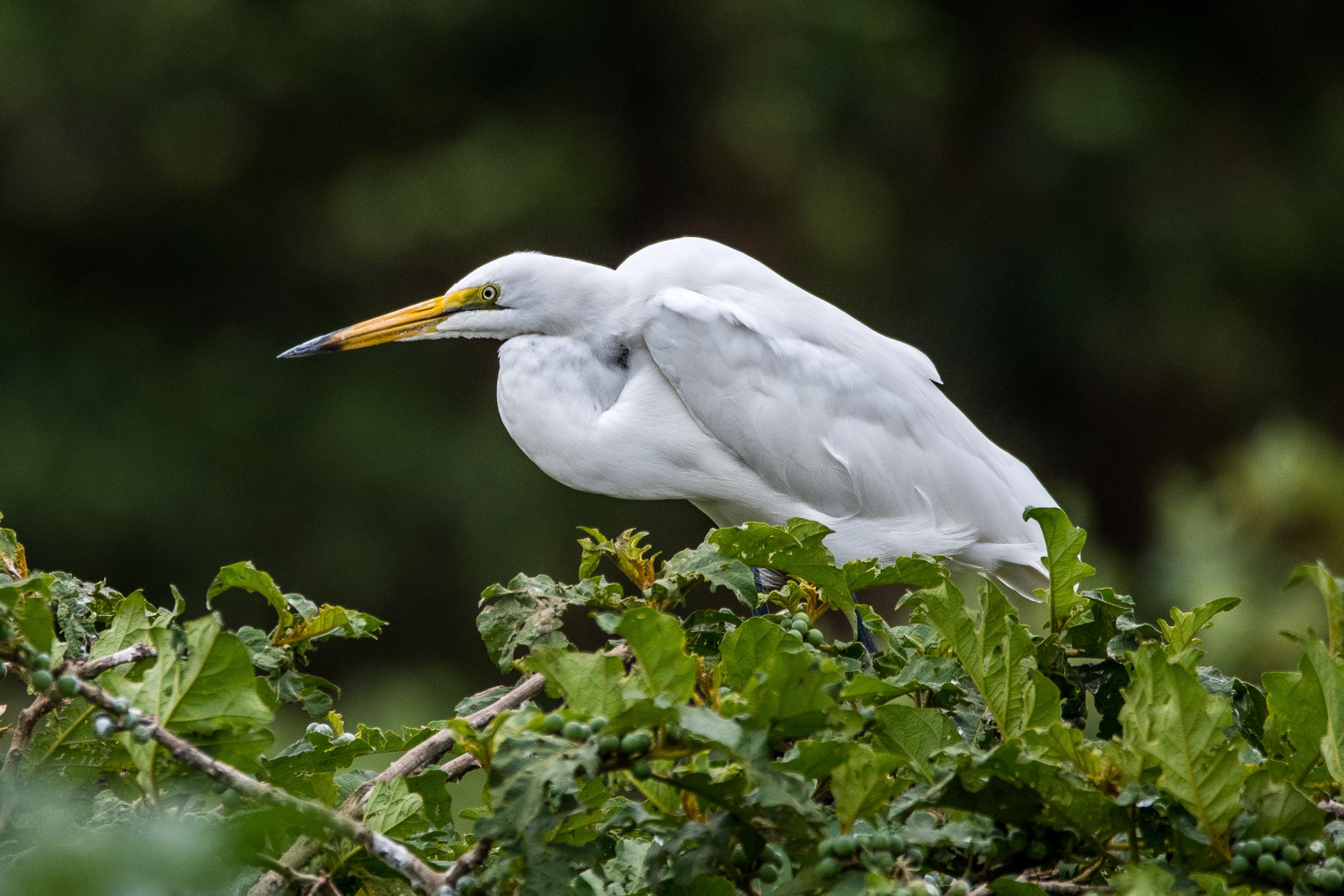 White Heron / Great Egret - Kalimba Reptile Park, Lusaka, Zambia