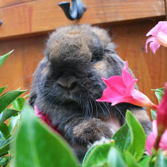 Fun little photo shoot with Layla 🐰🌷☺️. She's so chubby I love it! - Rabbit featured: LapLop's Layla - #rabbit #rabbits #bunny #bunnies #bunnyrabbit #bunnyrabbits #rabbitsofinstagram #rabbitsofinsta #rabbitsofig #bunniesofinstagram #bunniesofinsta #bunniesofig #hollandlop #hollandlops #hollandloprabbit #hollandlopsforsale #lionheadsforsale #hollandloprabbitry #rabbitry #bunnyrabbitry #minirex #babybunnies #rabbitsforsale #rabbitforsale #mnrabbits #cutebunnies #cute