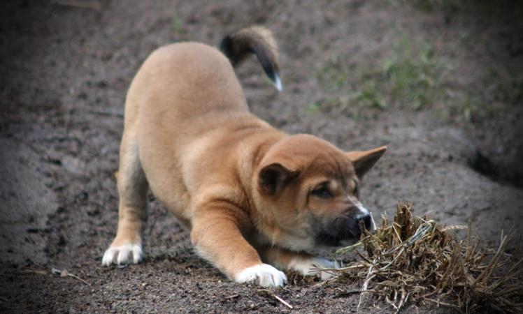 New-Guinea-Singing-Dog-3.jpg