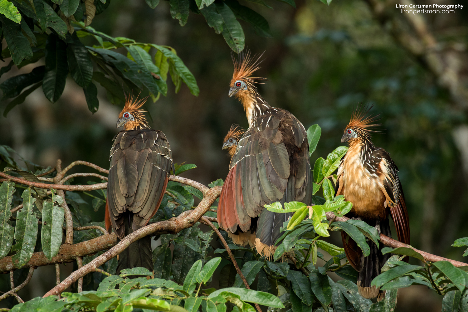 The Hoatzin has got to be on of the coolest looking birds that I've seen!
