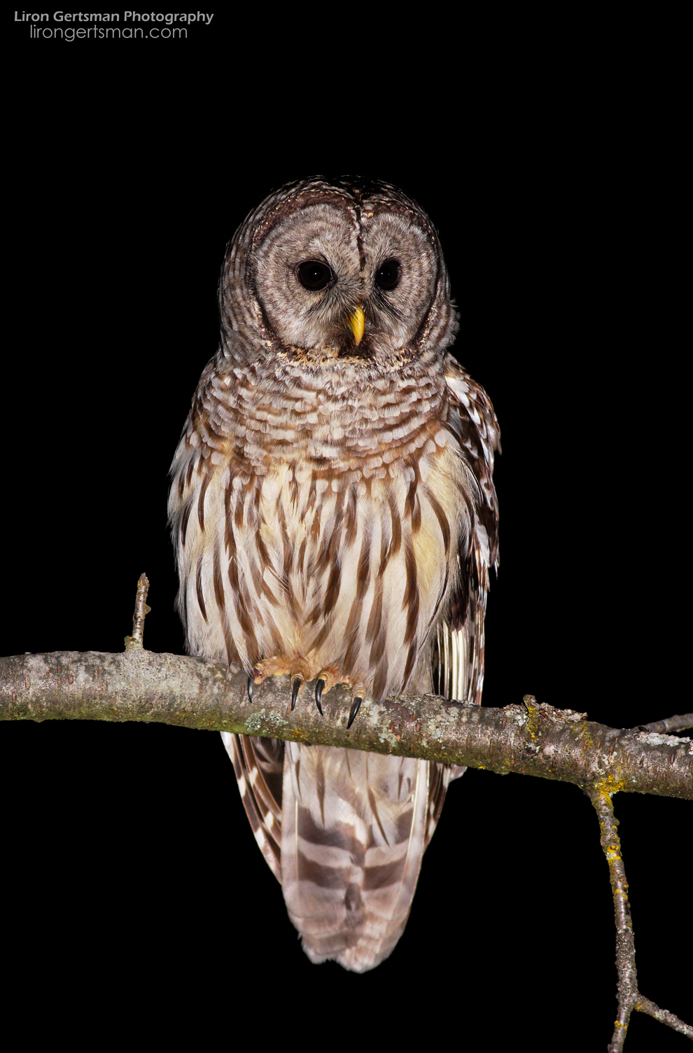 Barred-Owl-02-web.jpg
