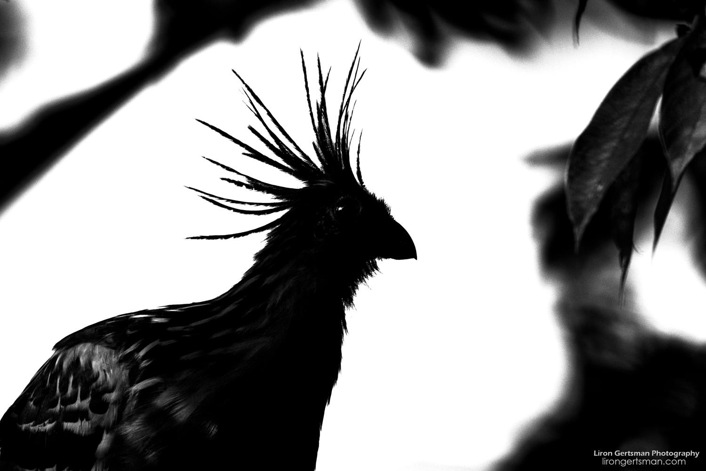 Hoatzin-silhouette-web.jpg