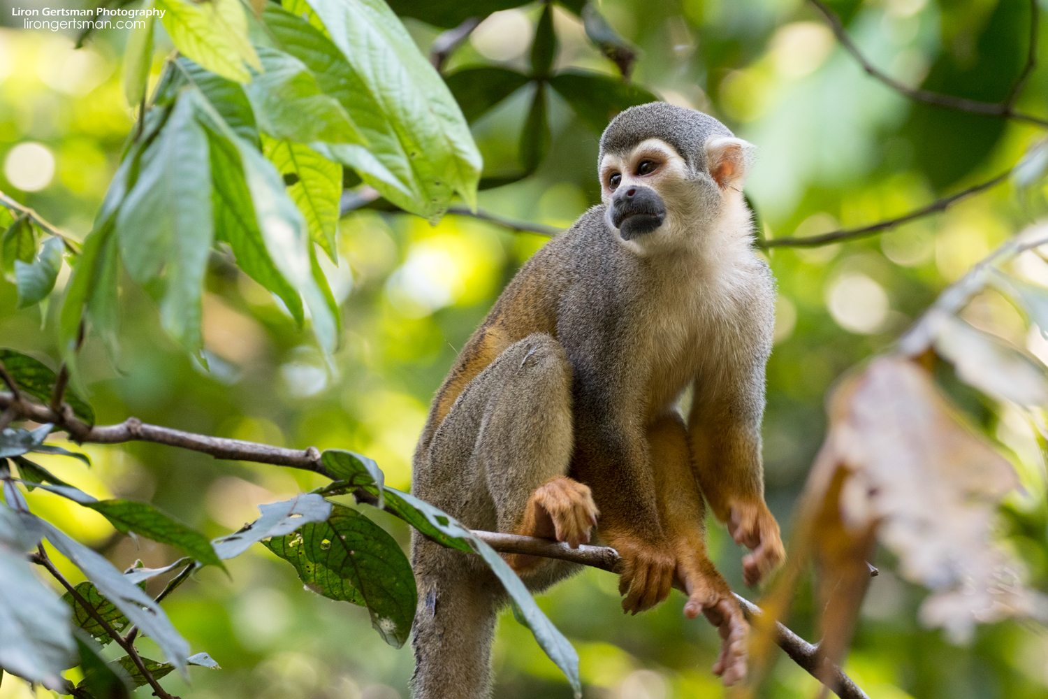 Squirrel-Monkey-web.jpg