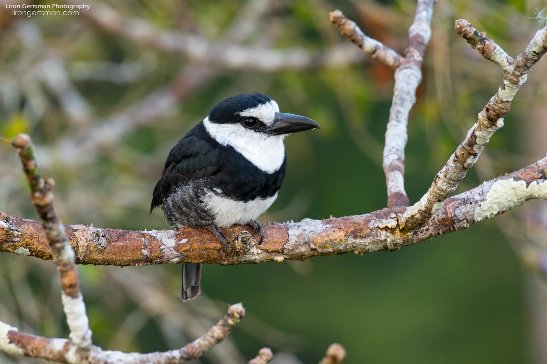 White-necked-Puffbird-web.jpg