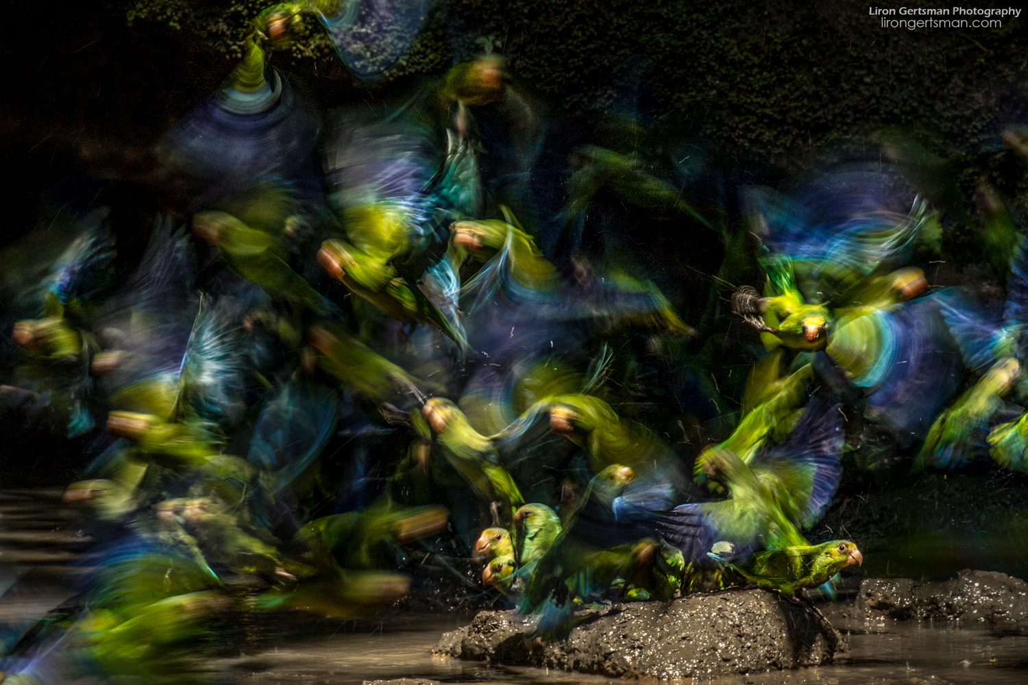 Chaos ensues as hundreds of Cobalt-winged Parakeets suddenly take off in a frenzy, creating a blend of incredible blue and green hues.