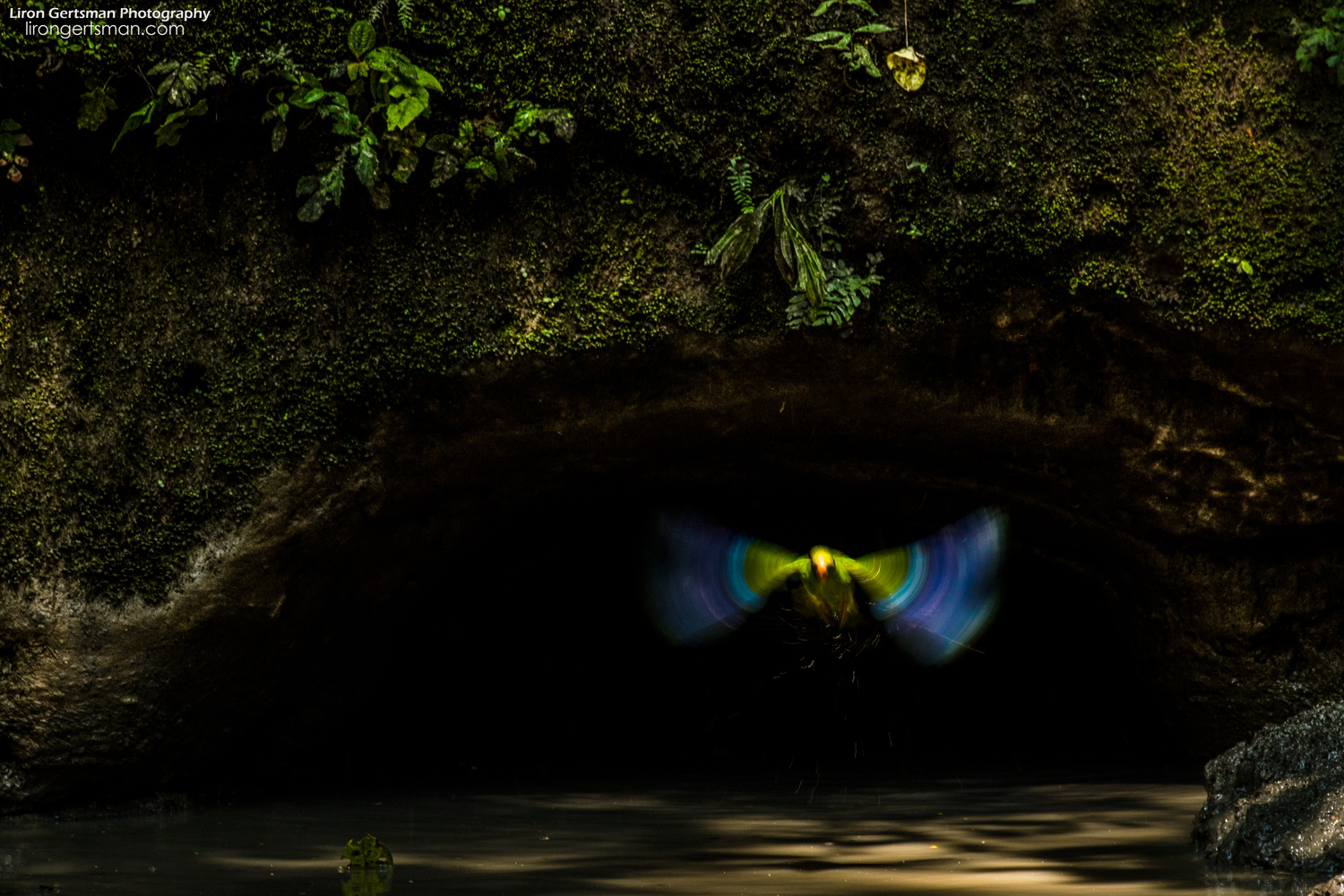 The final parakeet departs from under the arch, heading to join its flock in the canopy.