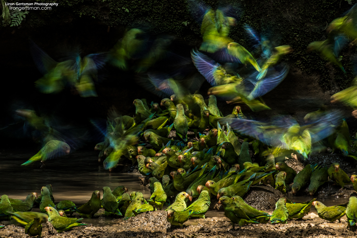 Parakeets continue flying down to join an increasingly large group already on the ground. A magical sight! This image won the youth category of the Audubon Photo Awards in 2018.