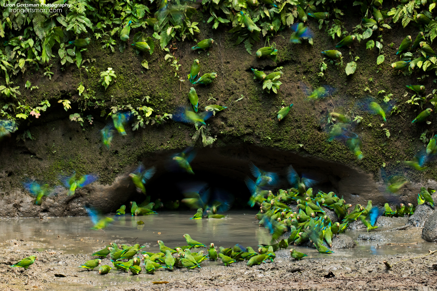 Taking a wider view is necessary to witness the hundreds of parakeets visiting the clay lick area.