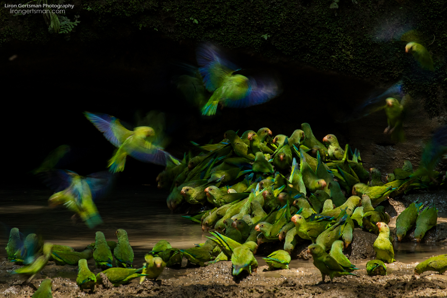 """Cobalt-winged Parakeets land on the forest floor to drink mineral-rich water and eat nutrient rich mud. This image was """"highly commended"""" in the age 15-17 category of Wildlife Photographer of the Year 54 (2018)."""