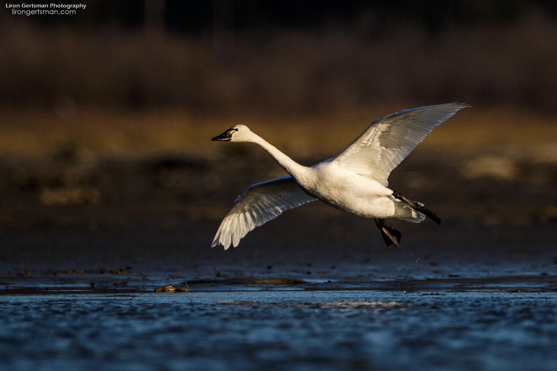 Tunrda-Swan-web.jpg