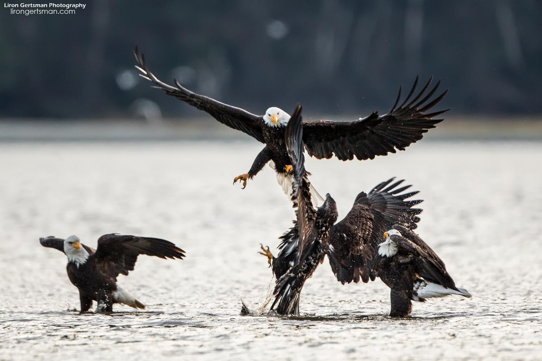 Bald-Eagle-01-web.jpg
