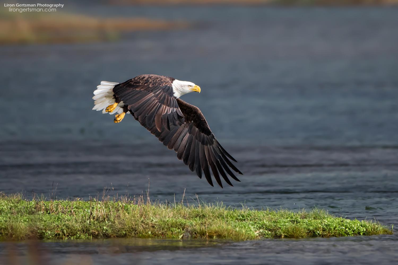 Bald-Eagle1-web.jpg