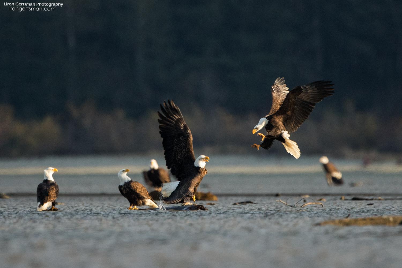 Bald-Eagle-3-web (2).jpg