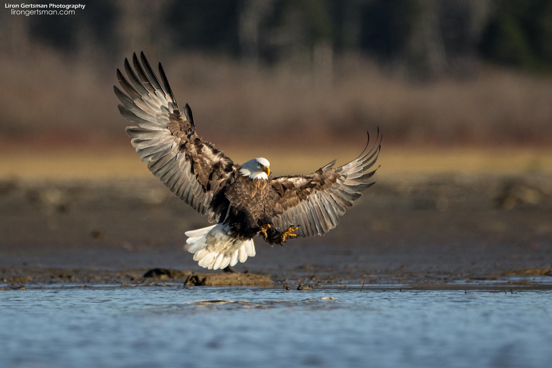 Bald-Eagle-5-web (2).jpg