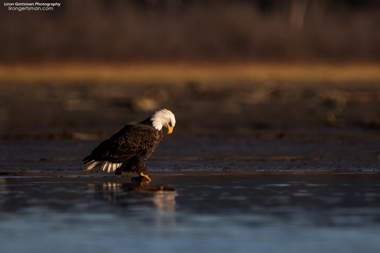 Bald-Eagle-6-web.jpg