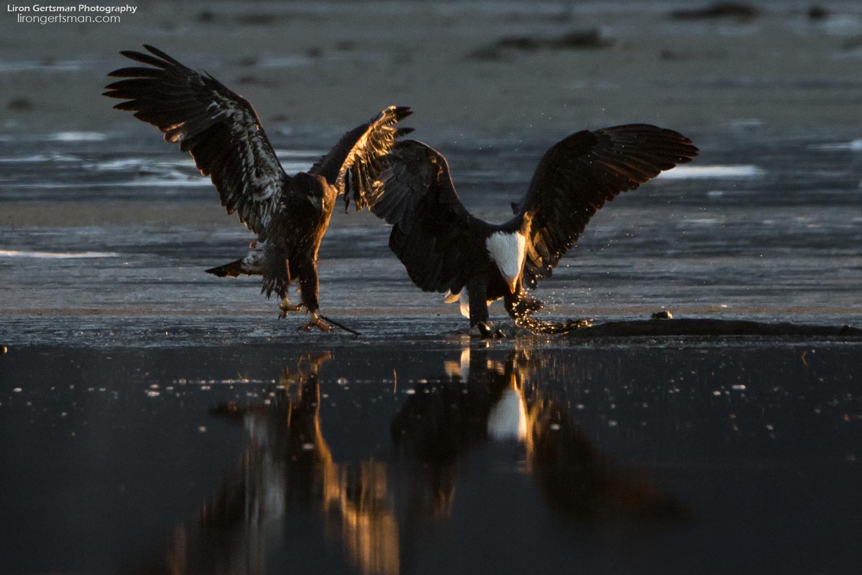 Bald-Eagles-web (2).jpg