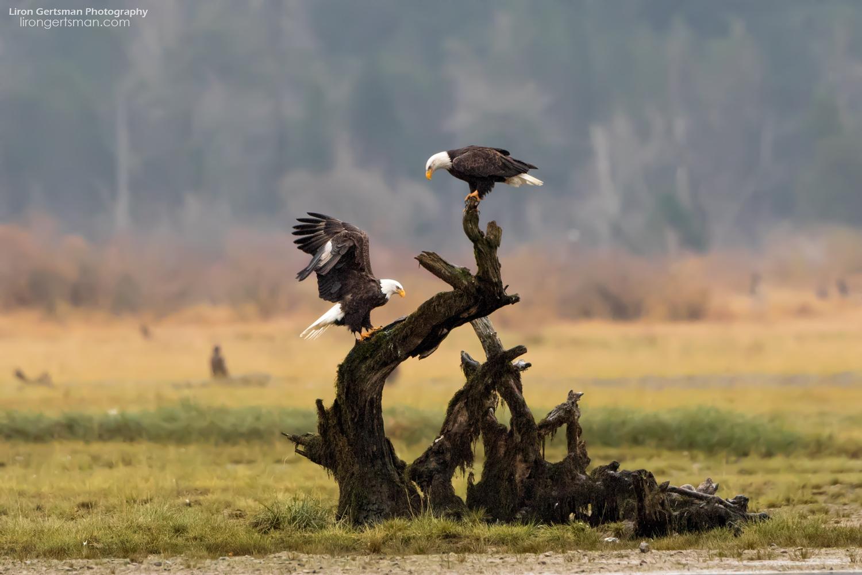 Bald-Eagles-web.jpg