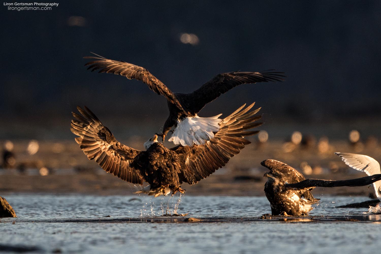 Bald-Eagles-web (3).jpg