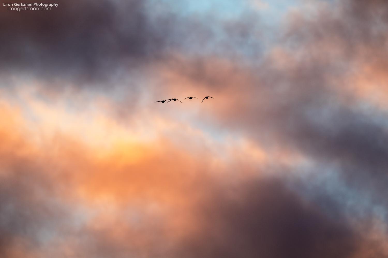 Ducks-flying-at-sunset.jpg