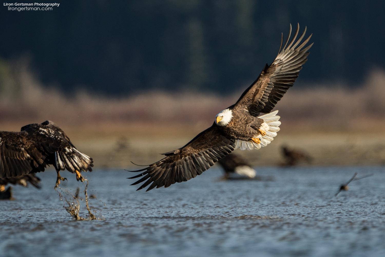 Bald-Eagle-web.jpg